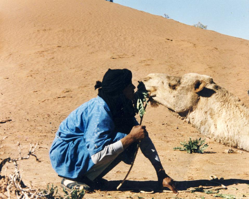 Kamel frisst Ruccola